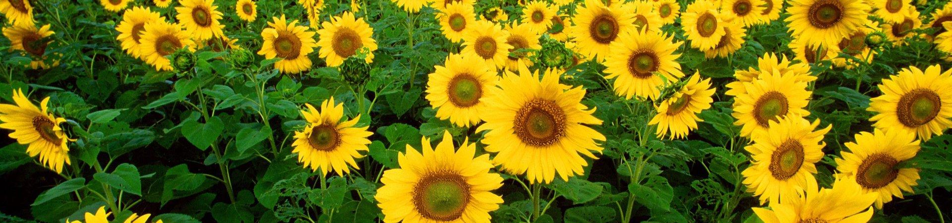 auringonkukat, terveyttä auringossa